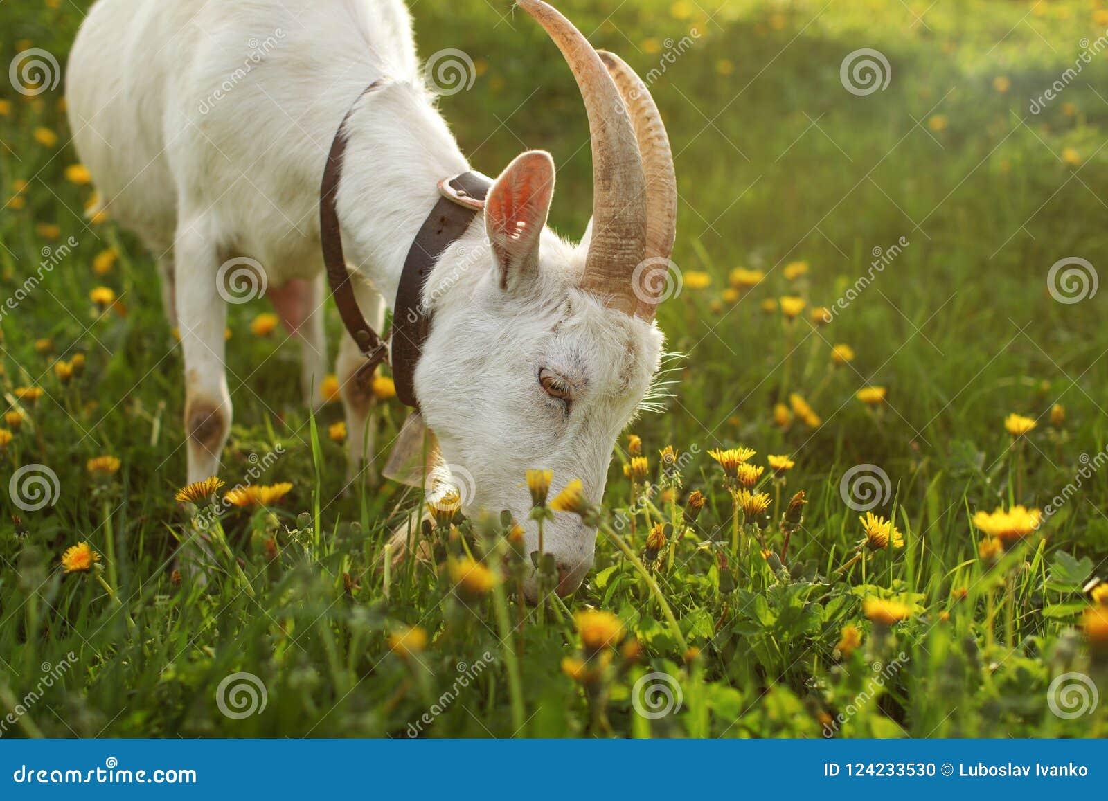 Cabra fêmea que pasta, comendo a grama no prado completamente dos dentes-de-leão,