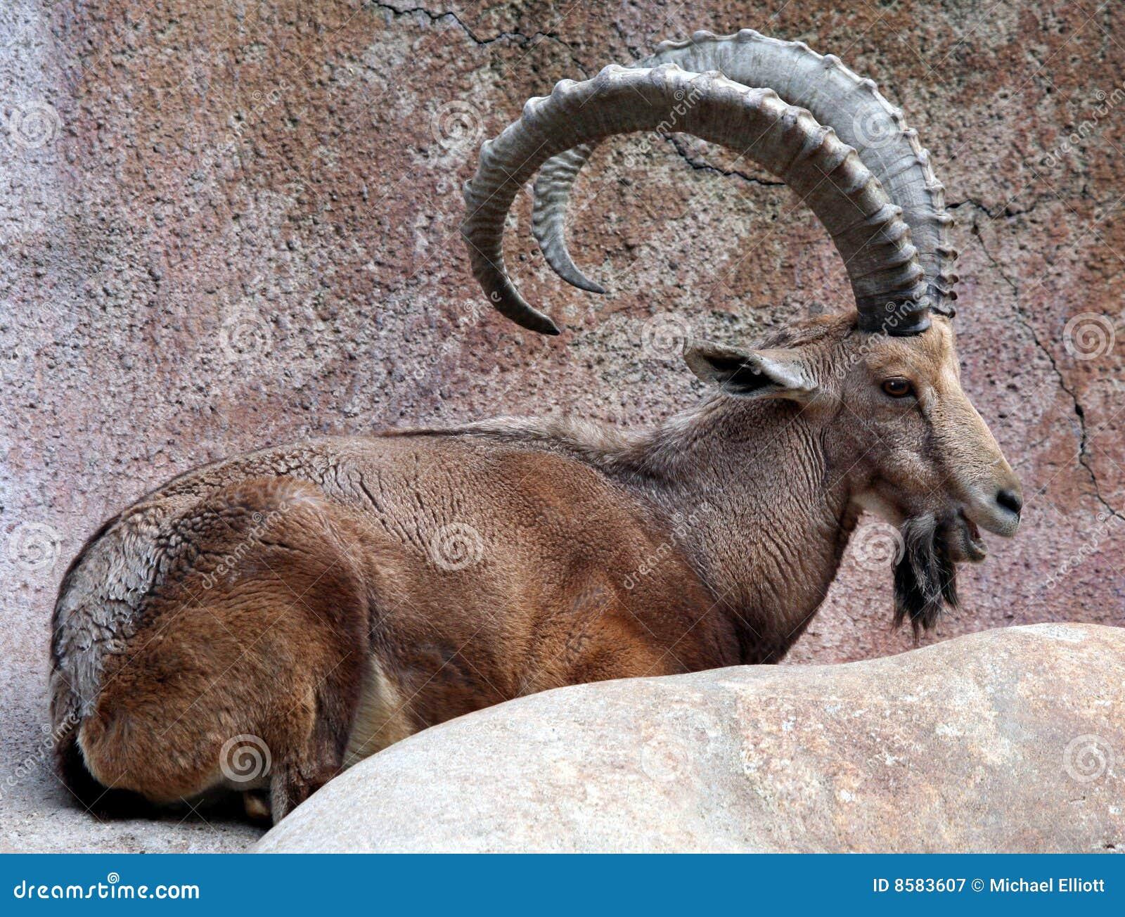 Cabra grande del claxon