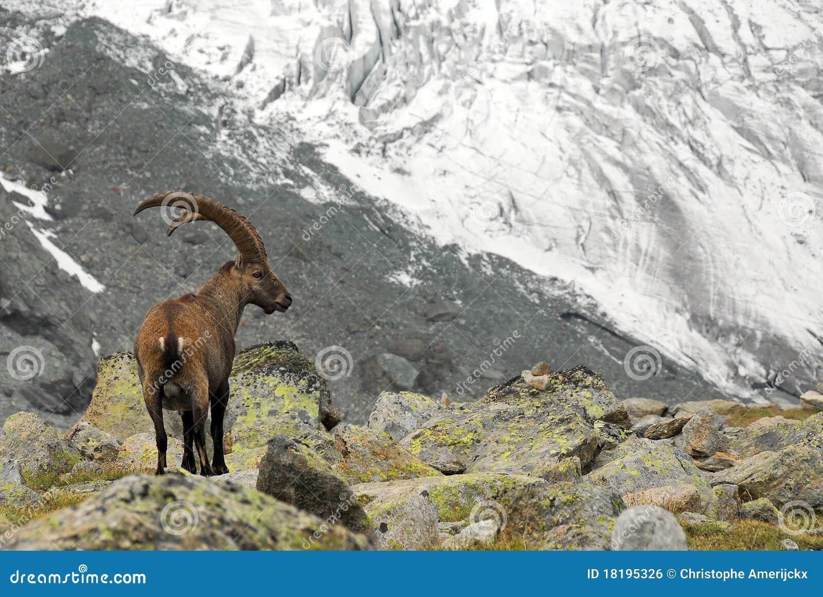 Cabra montés alpestre