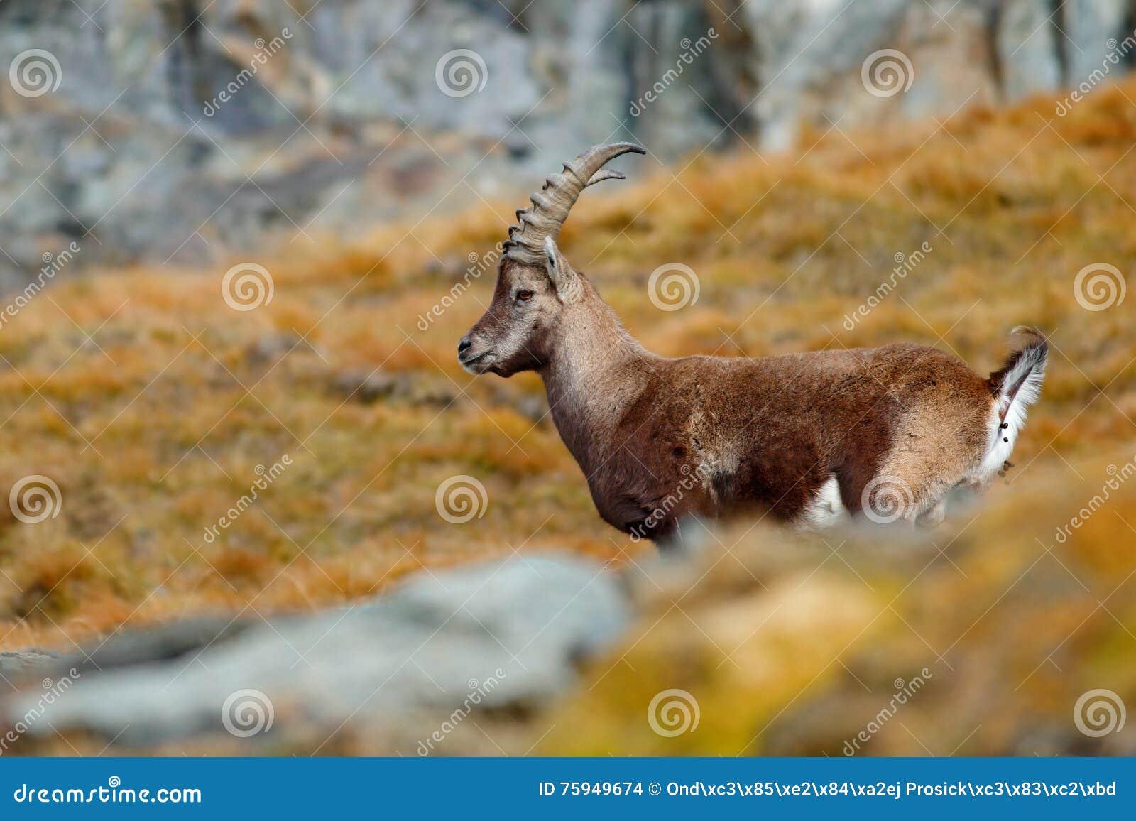 Cabra montés alpino de la asta, cabra montés del Capra, rasguñando el animal con las rocas coloreadas en fondo, animal en el hábi