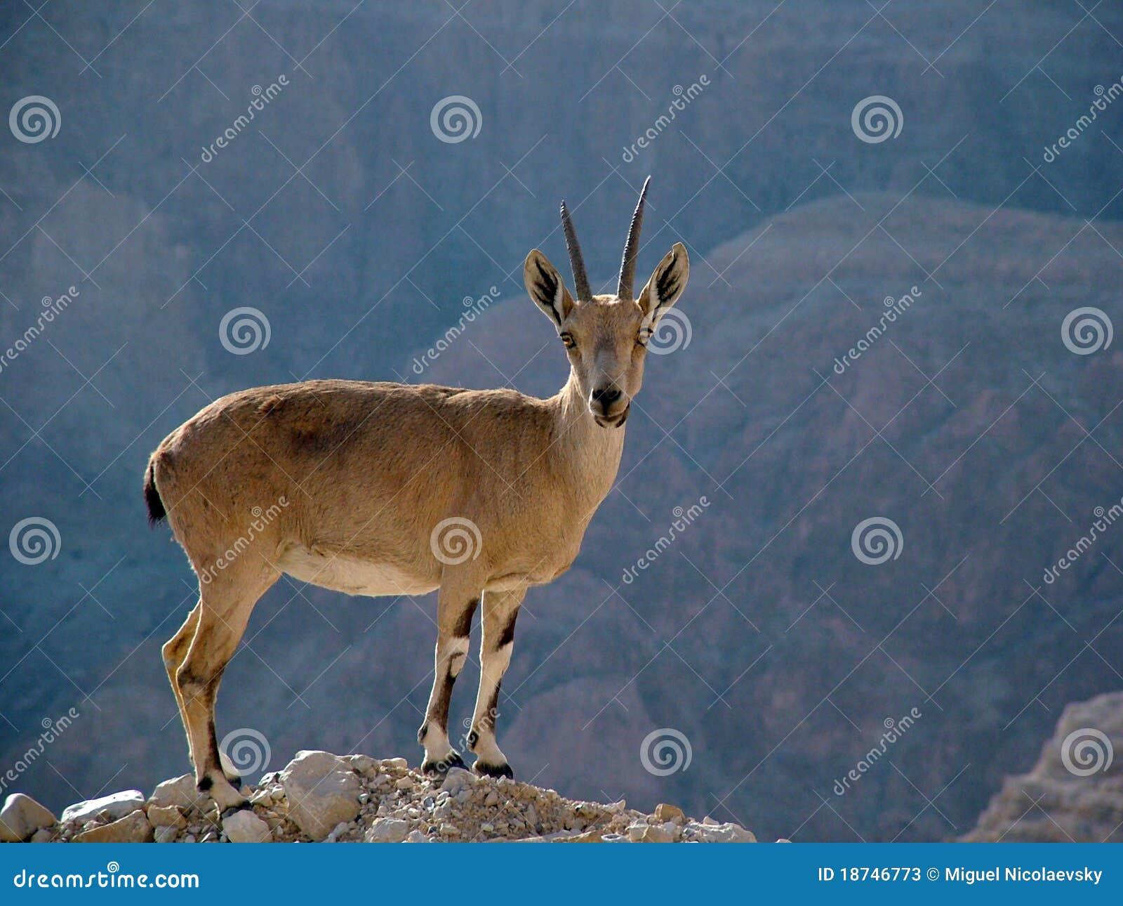 Cabra montés encima de un acantilado en el desierto de Judea