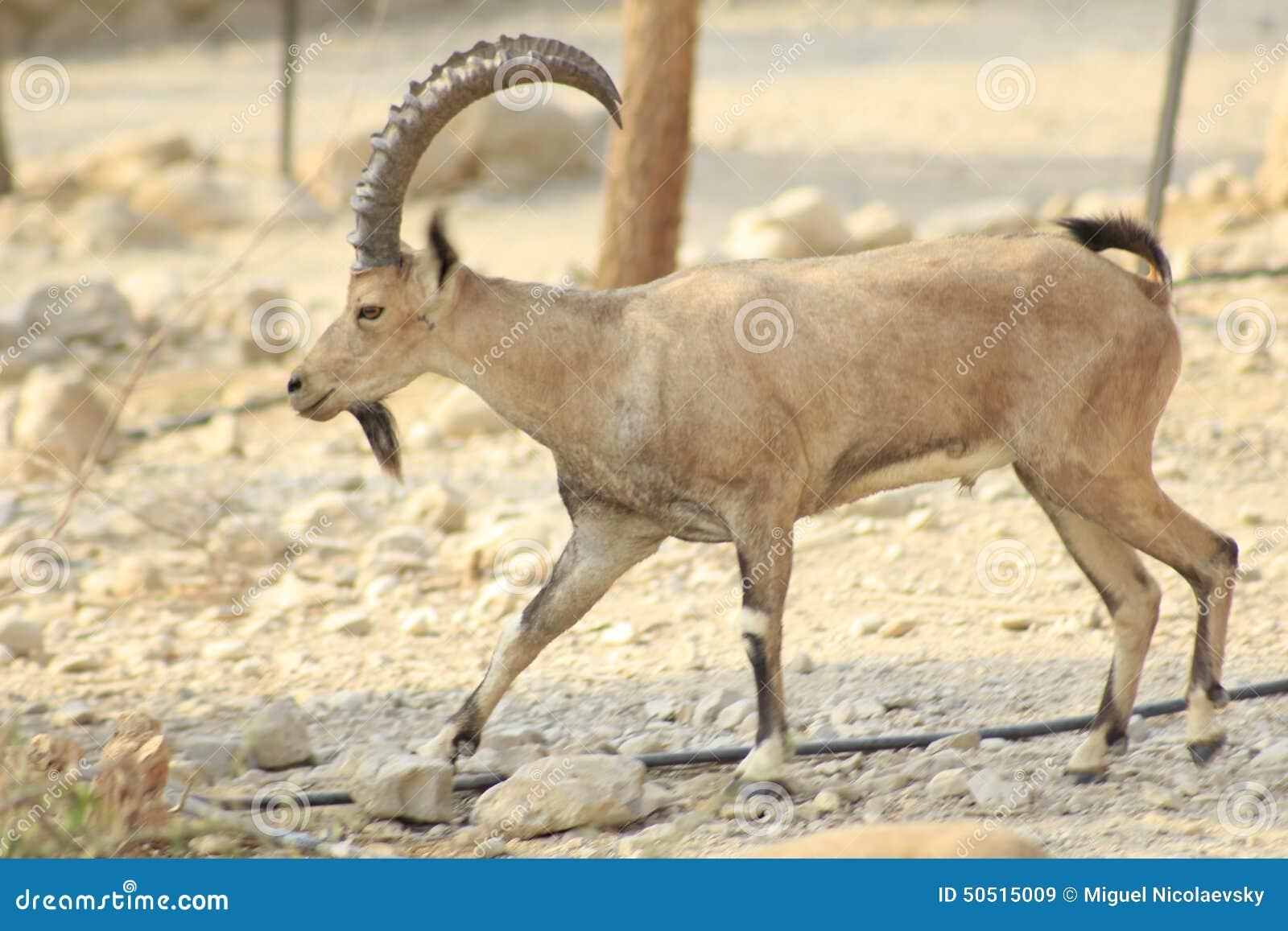 Cabra montés salvaje de Ein Gedi en el desierto de Judea, Tierra Santa