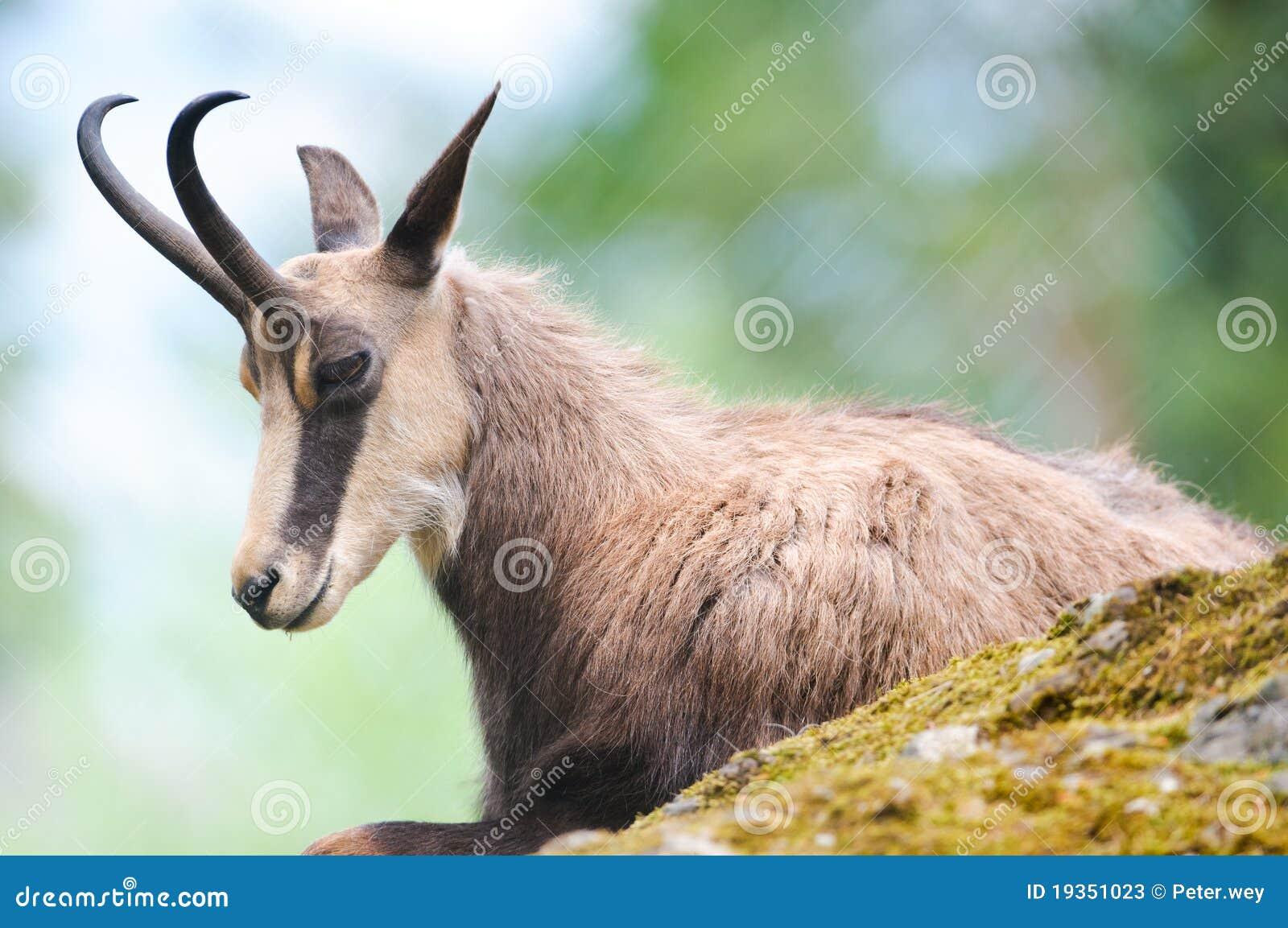 Cabra-montesa (lat. rupicapra do rupicapra)