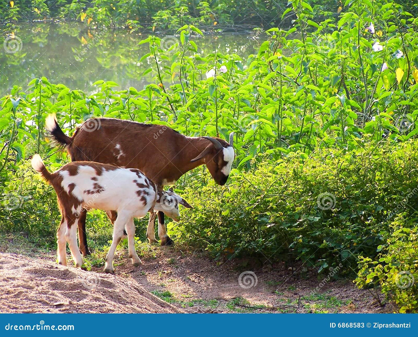 Cabra na grama
