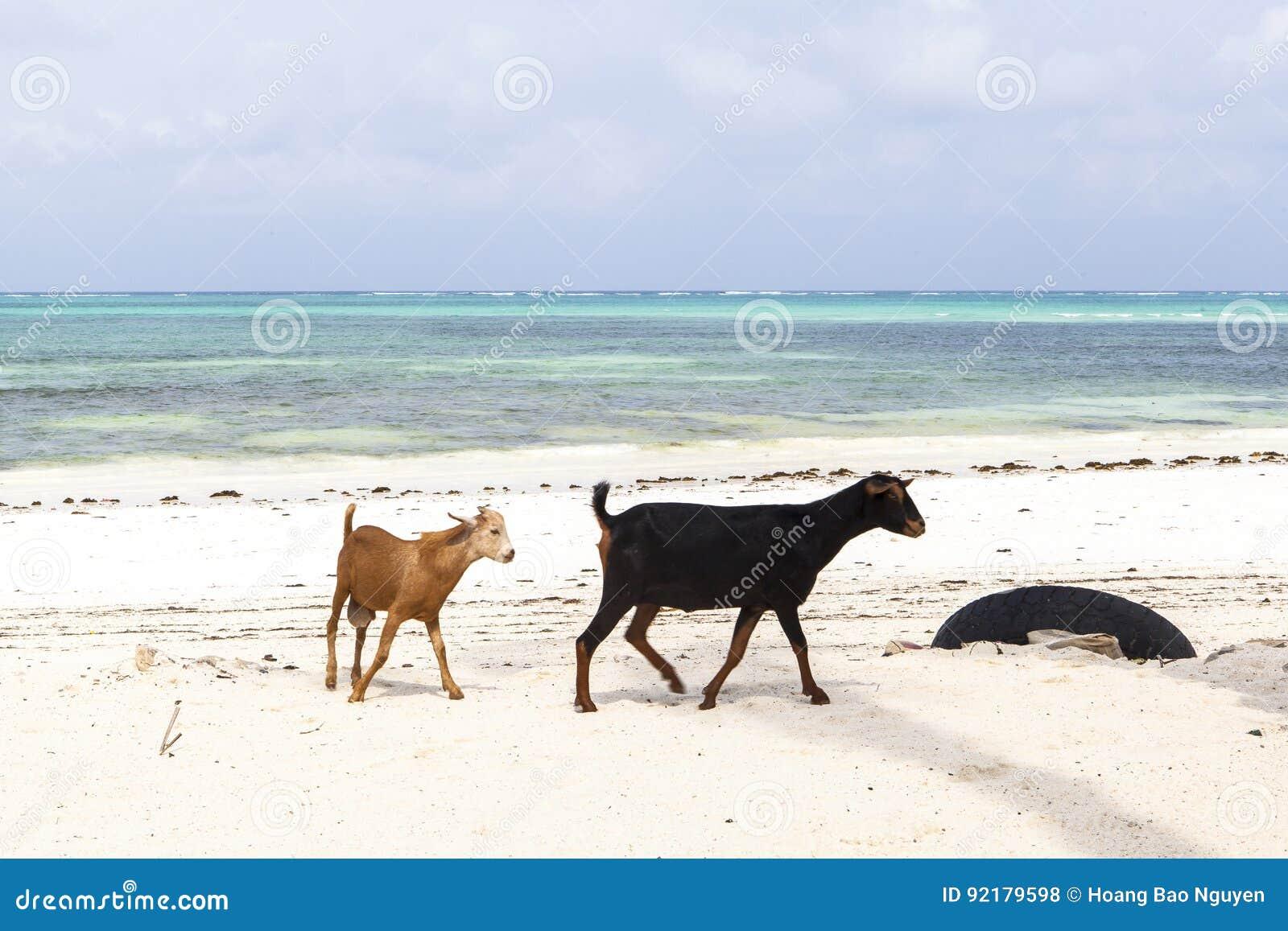 A cabra na ilha de Zanzibar