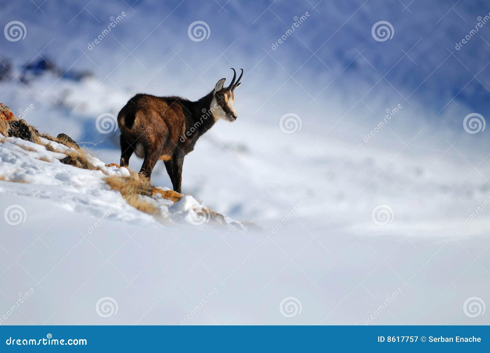 Cabra na montanha nevado