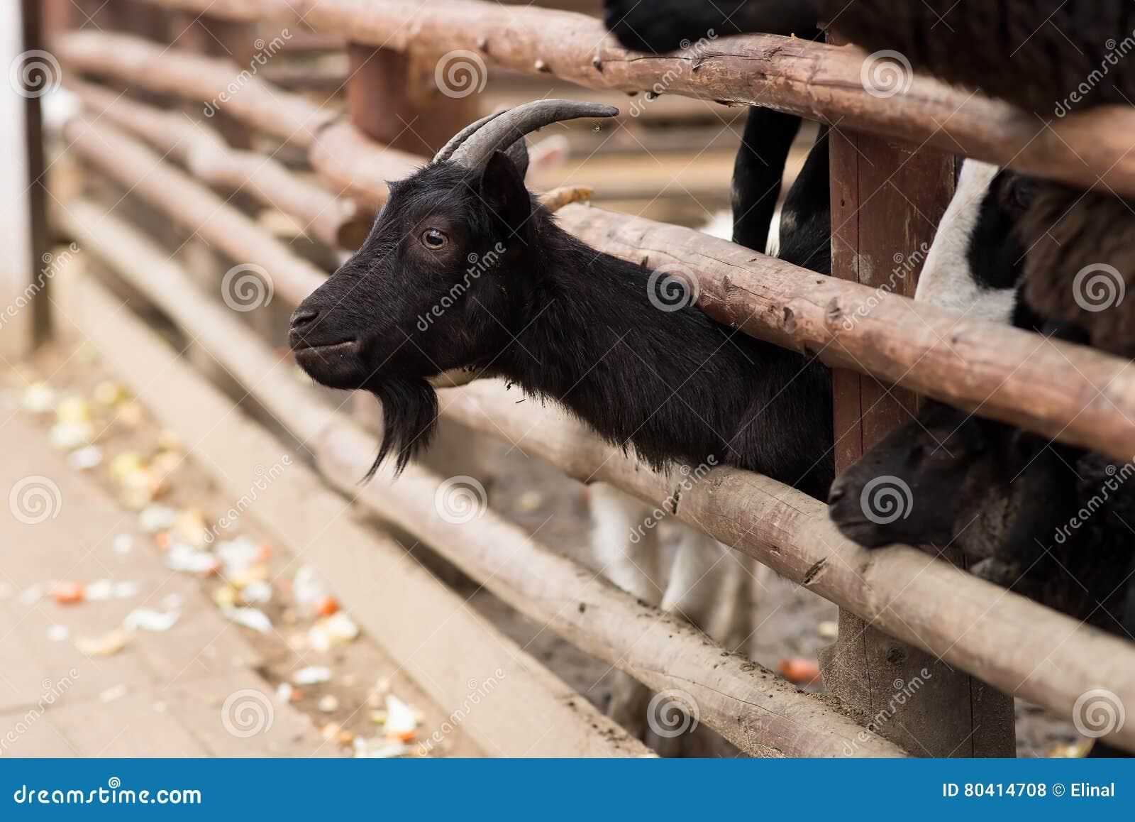 Cabra negra detrás de la cerca de madera Granja