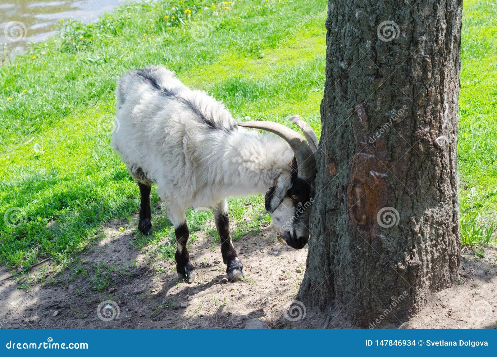 Cabra no parque sobre a ?rvore