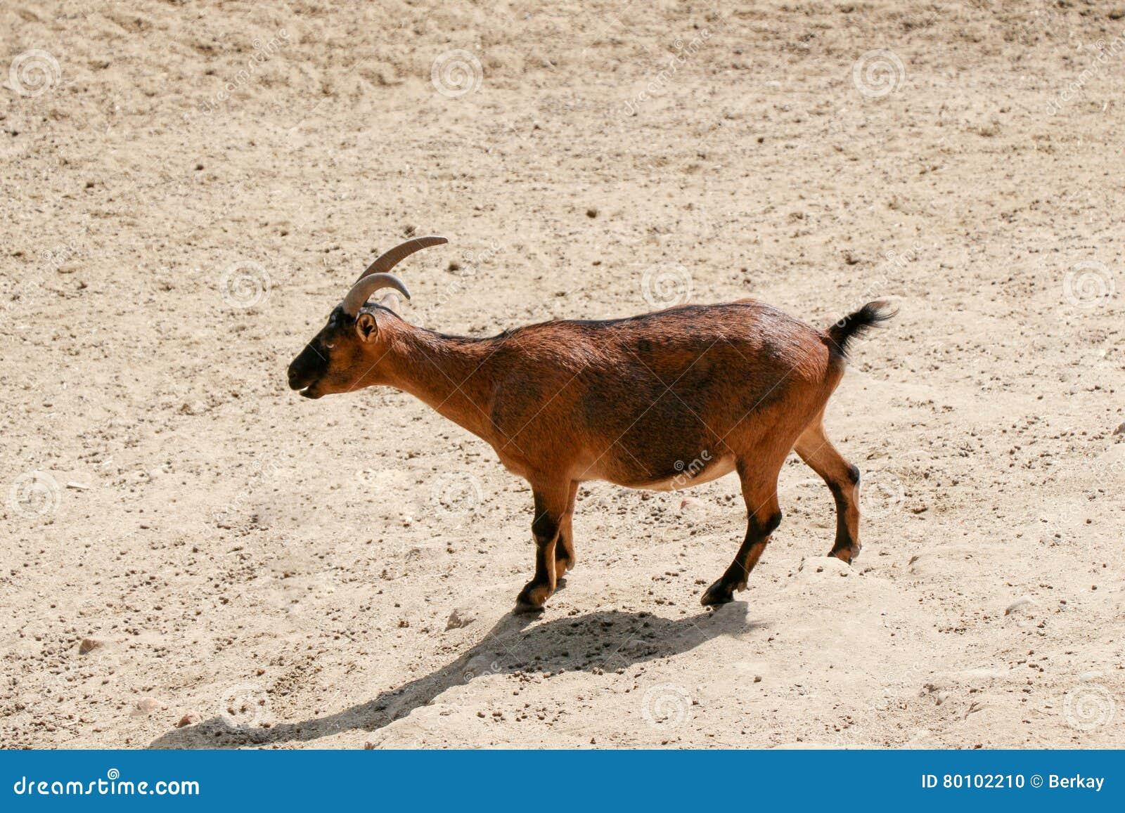 Cabra nova que anda no solo