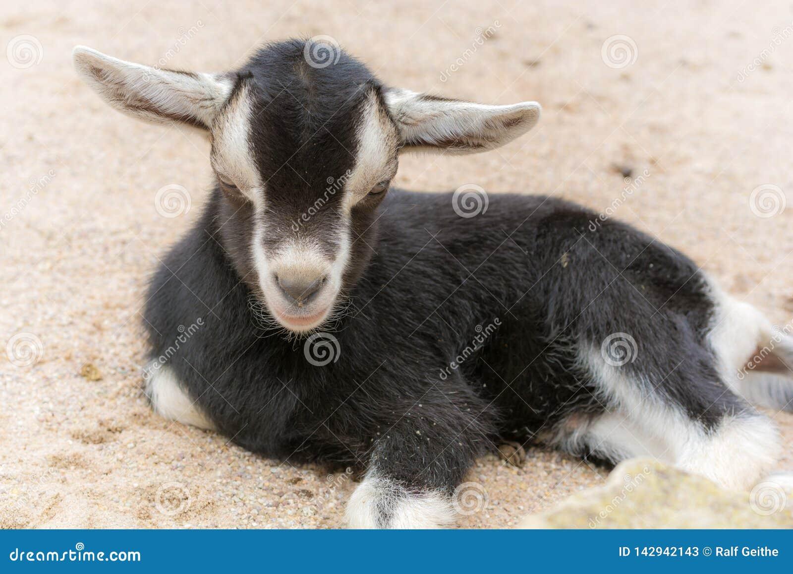 A cabra pequena encontra-se em uma exploração agrícola na terra arenosa