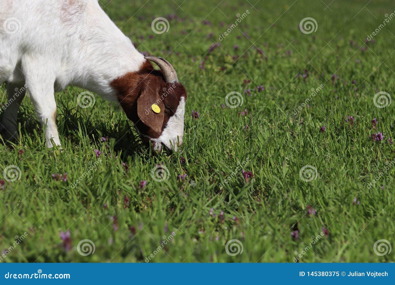 Cabra que pasta en prado de la primavera
