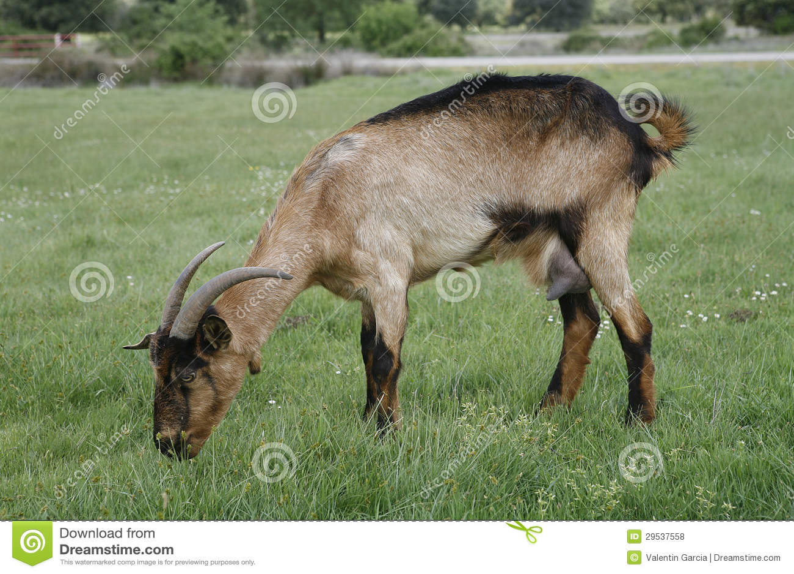 Cabra que pasta no campo