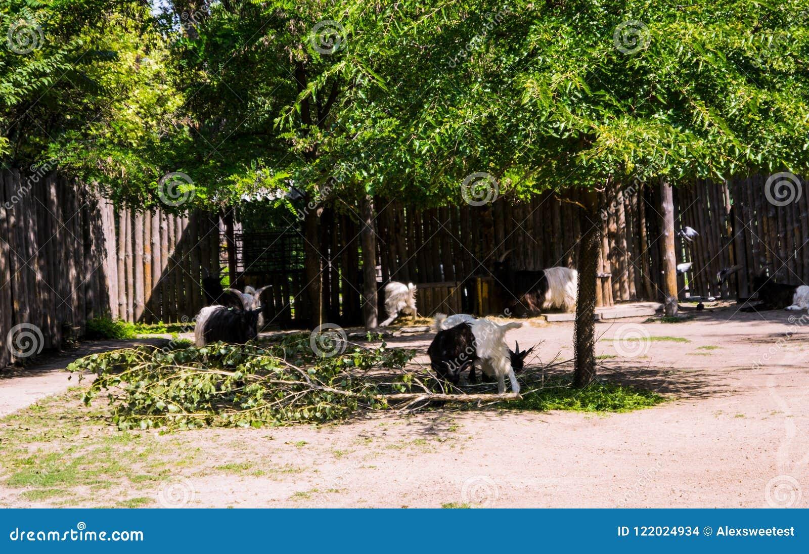 Cabras adultas salvajes