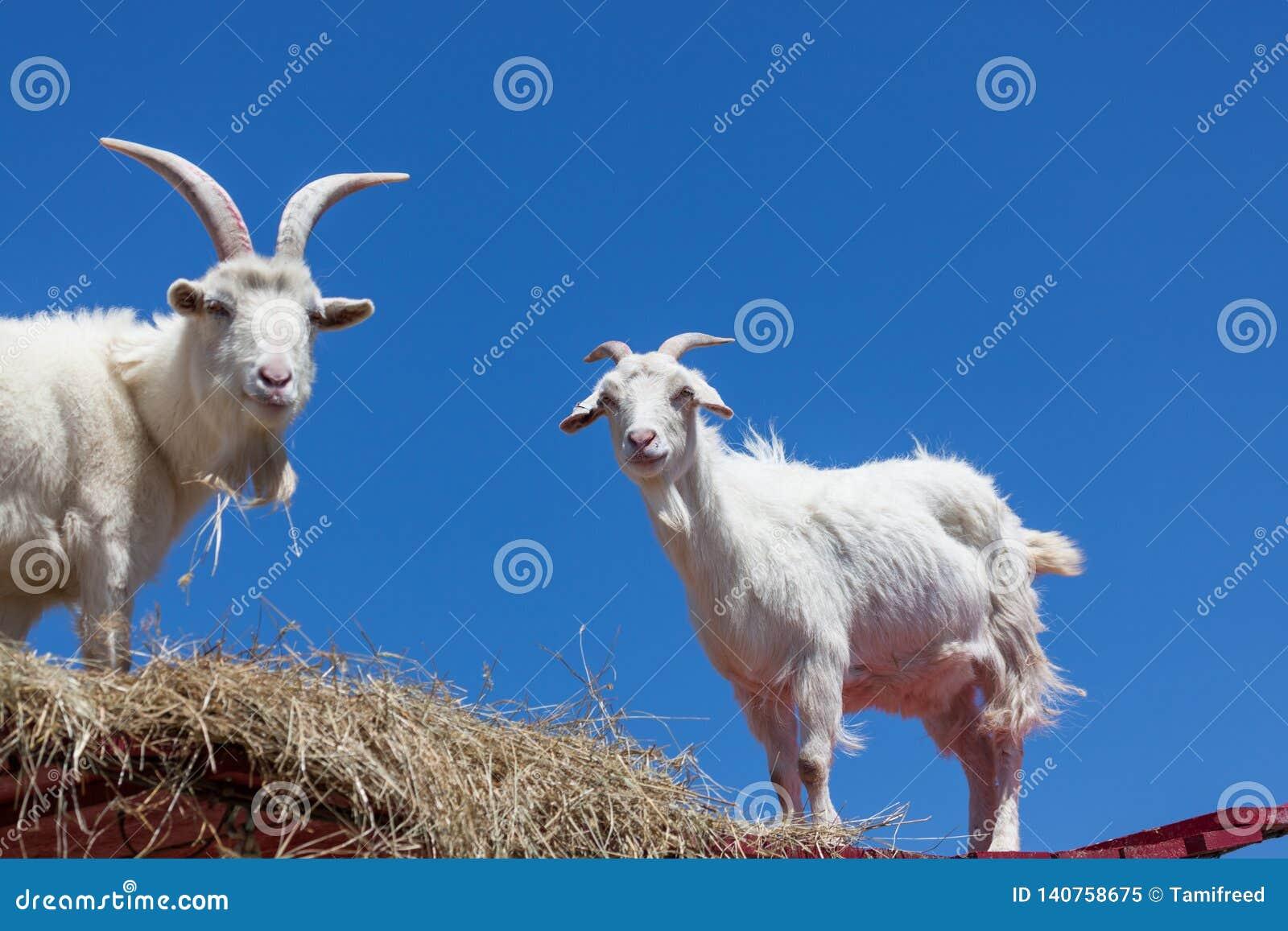 Cabras blancas con un cielo azul