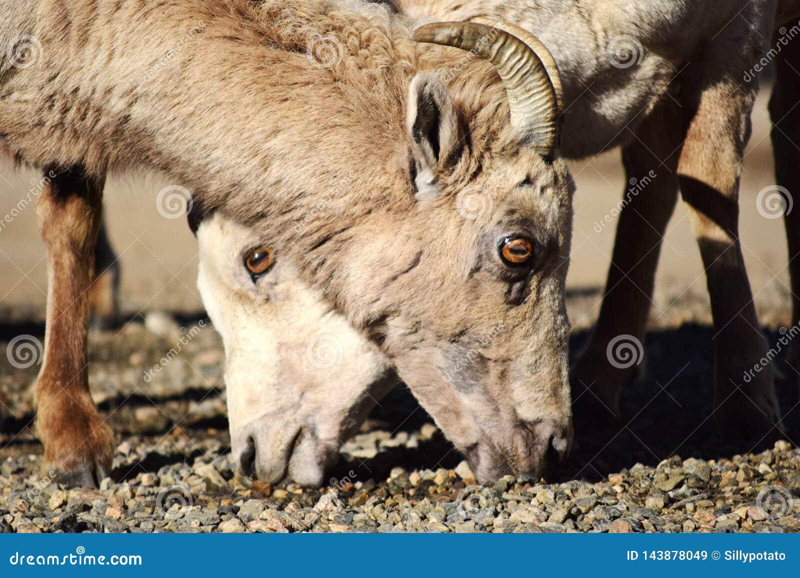 Cabras de montanha no Mt evans