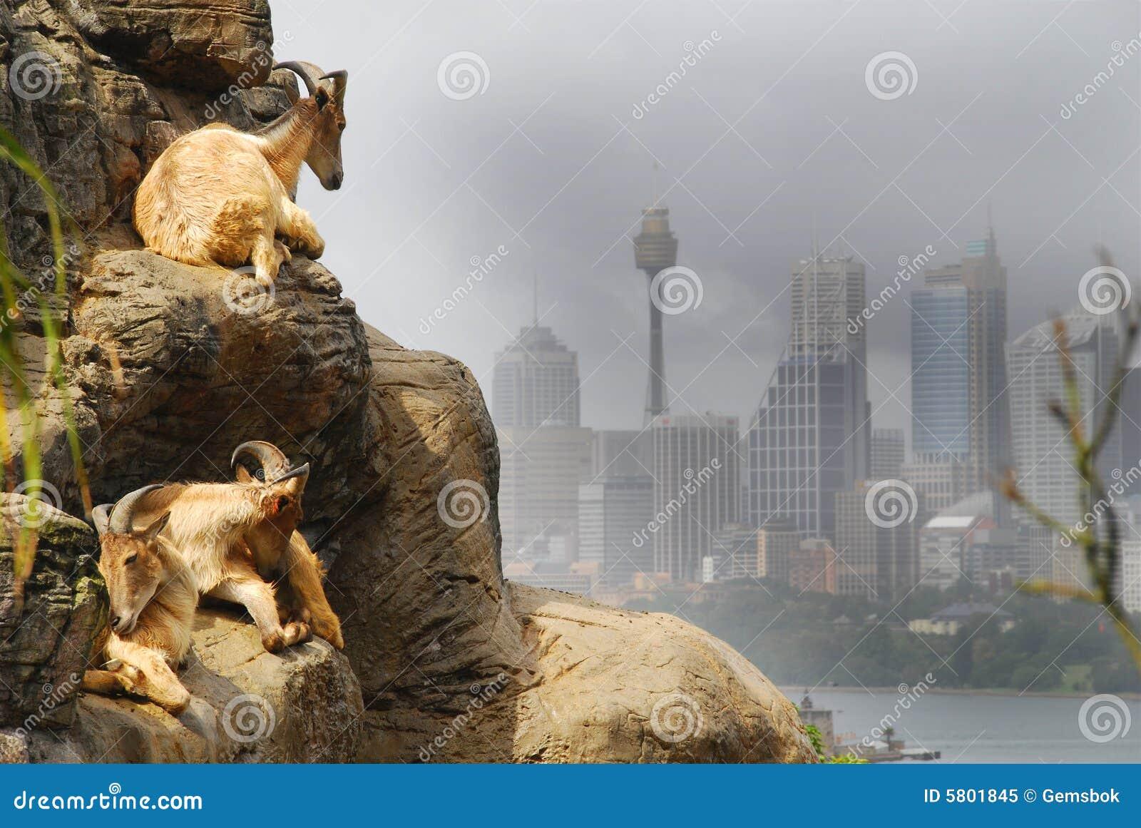 Cabras de Sydney