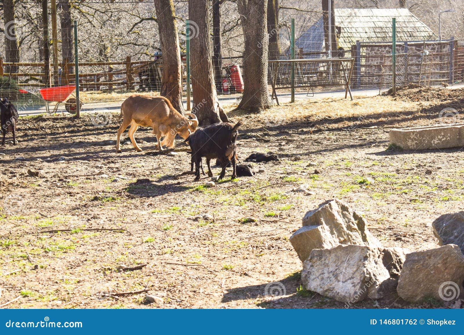 Cabras en la granja del pueblo en un día de primavera soleado