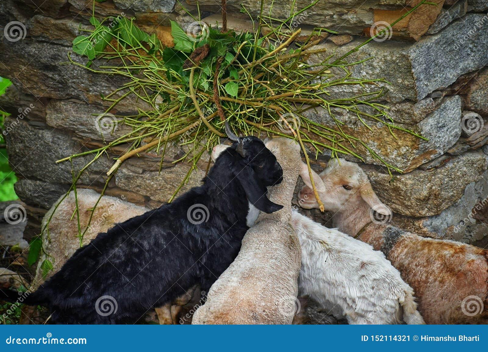 Cabras en la región de la montaña que comen su comida así como amor