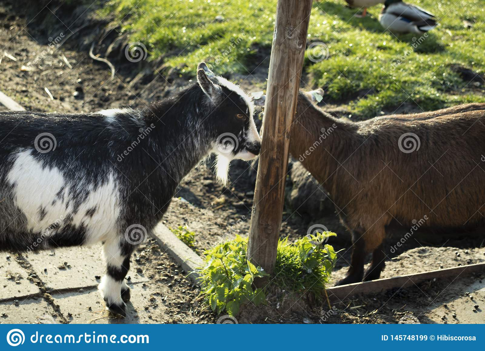 Cabras felizes na vila