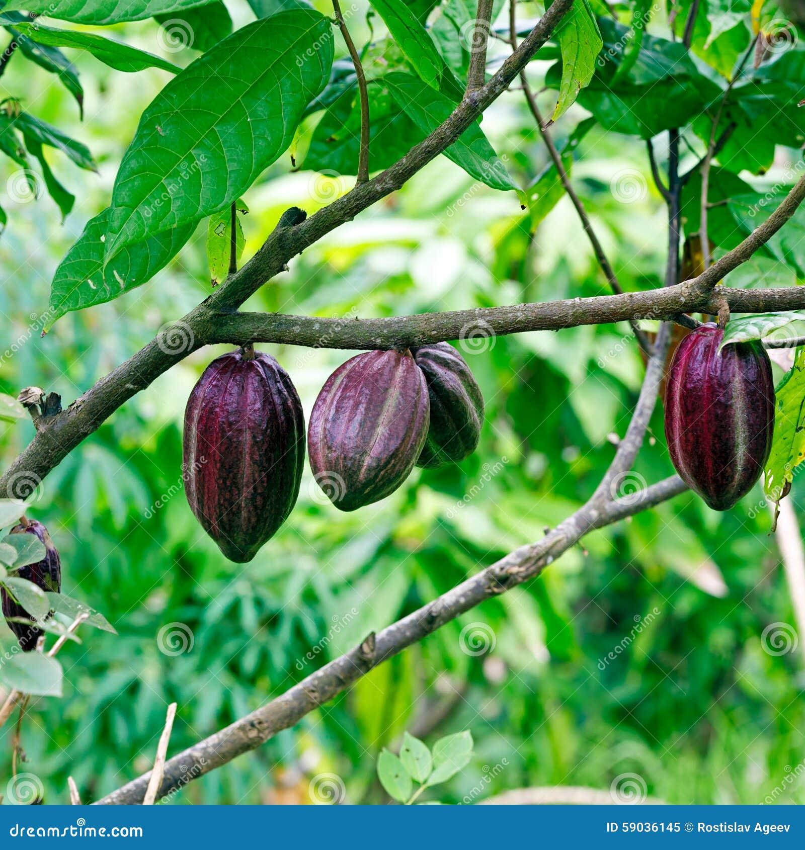 Cacao-beans (chocolate Tree), Bali Stock Image