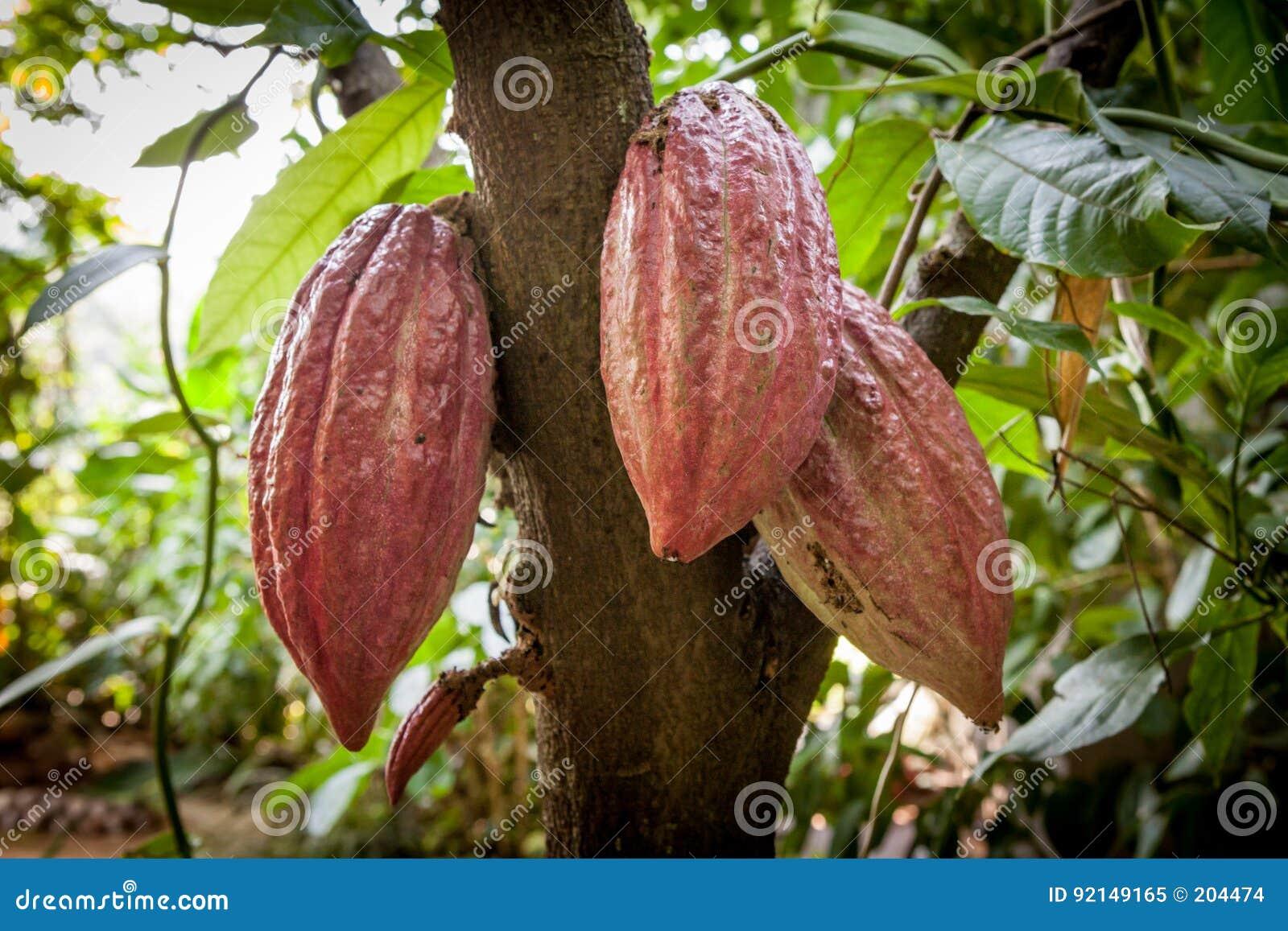 Cacao drzewa Theobroma cacao Organicznie kakaowi owoc strąki w naturze