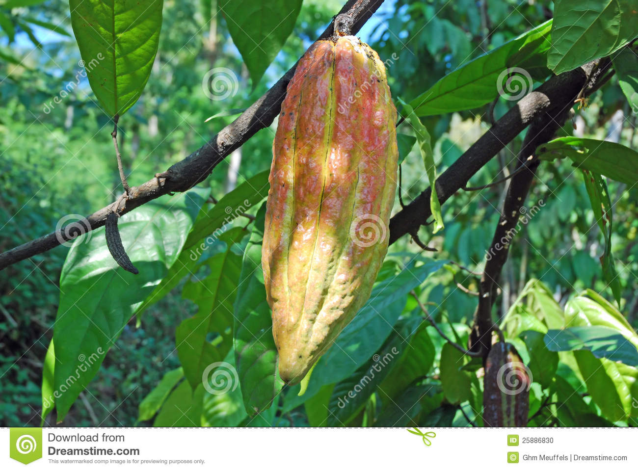 Cacao tree fruit or cacao pod red-green coulered