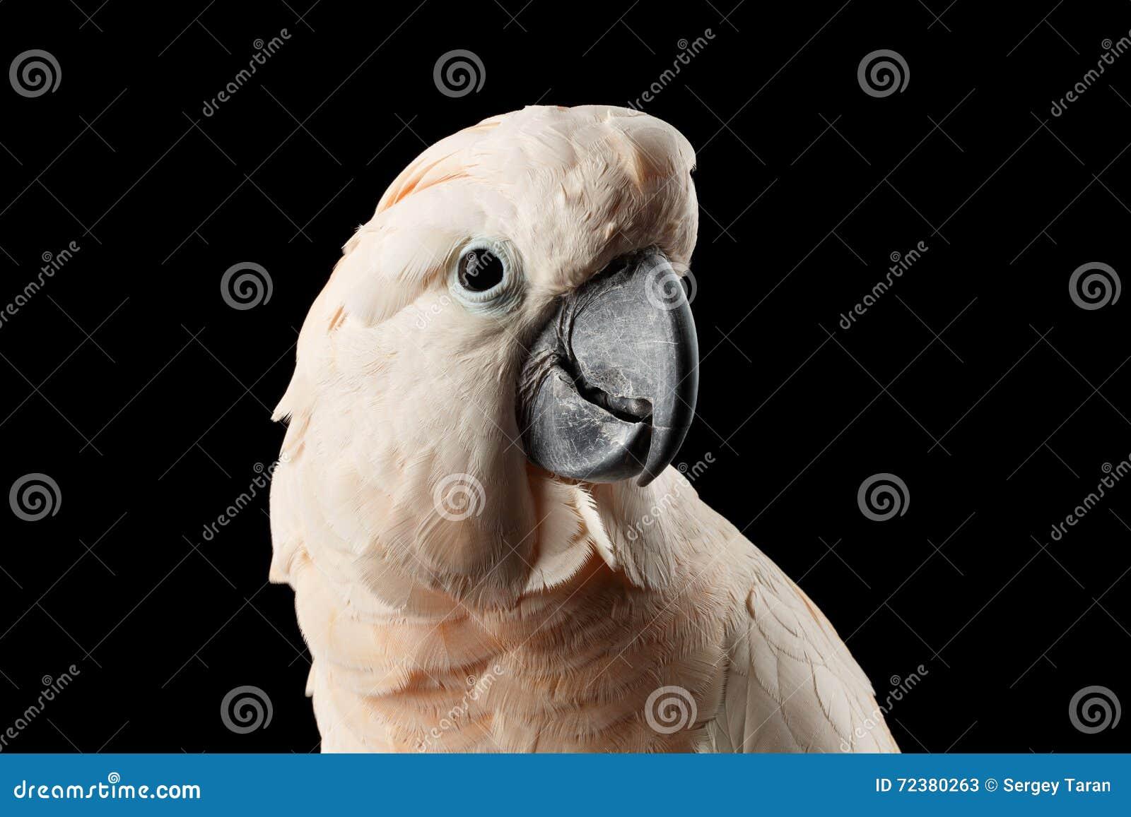 Cacatua molucana bonita principal do close up, papagaio salmão-com crista cor-de-rosa, preto isolado