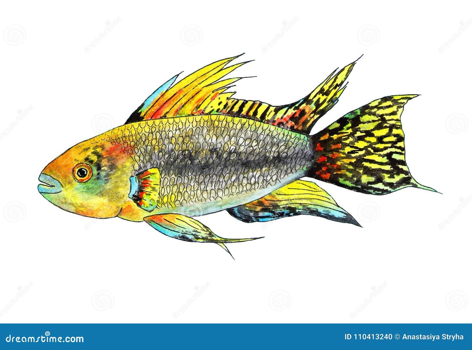 Cacatuoides tropicales del apistogramma de los pescados Ilustración de la acuarela