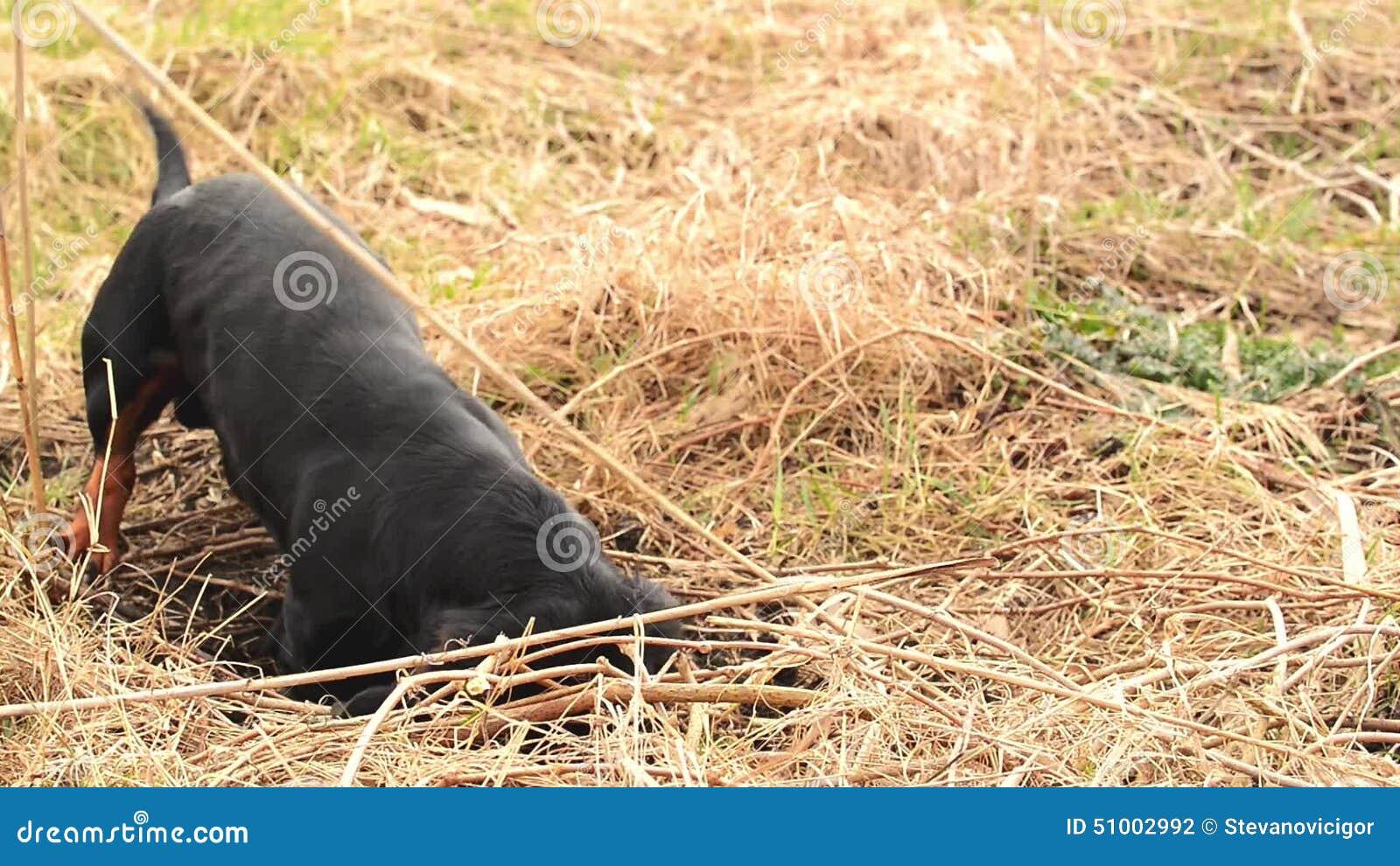 Caccia del cane del bassotto tedesco per le talpe nel for Talpe in giardino