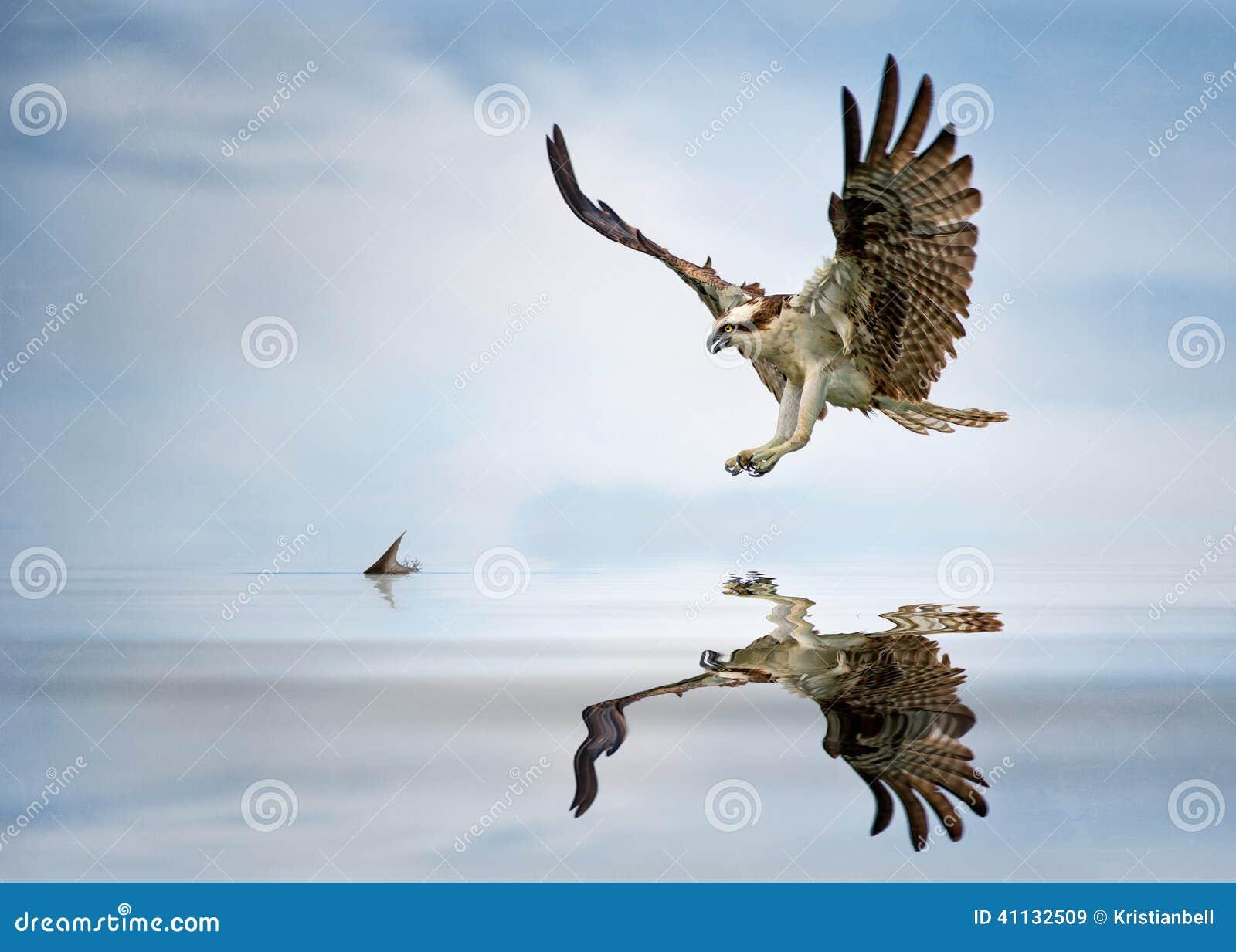 Caccia del falco pescatore