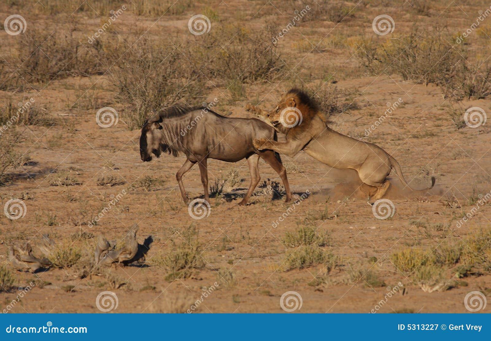 Download Caccia Del Leone Nel Movimento Immagine Stock - Immagine di brown, animale: 5313227