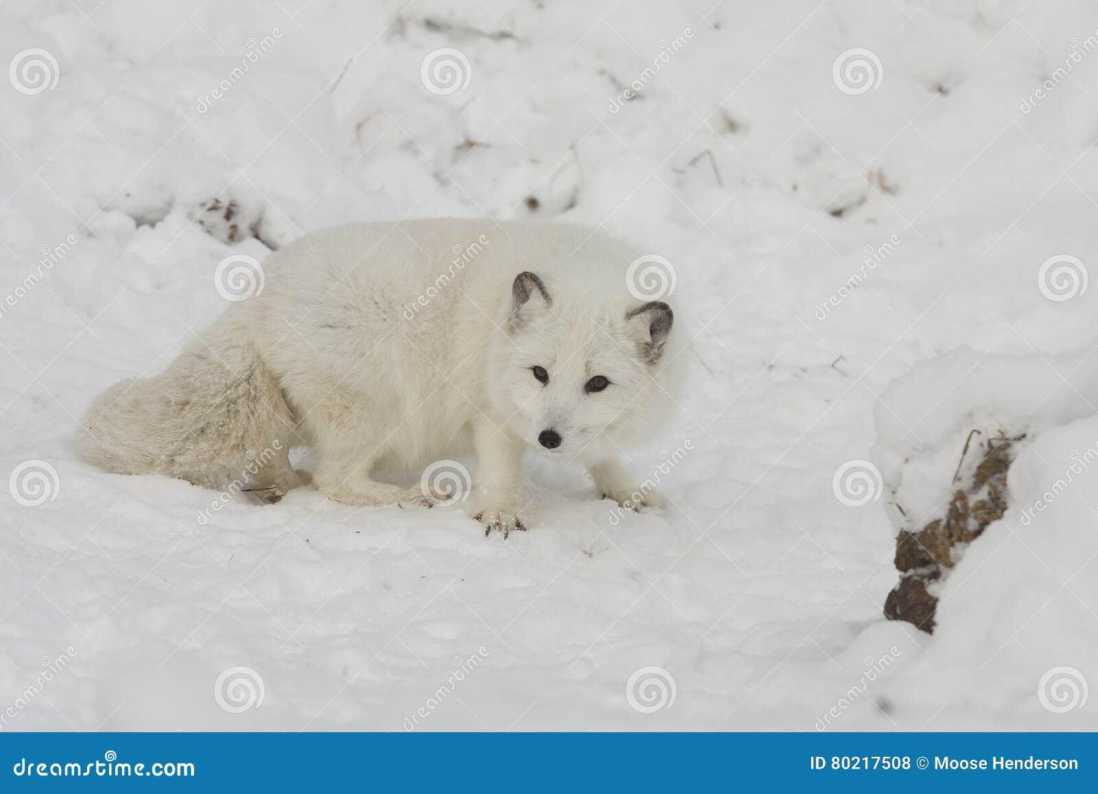 Caccia di volpe artica per l alimento su una collina della neve con gli artigli estesi i