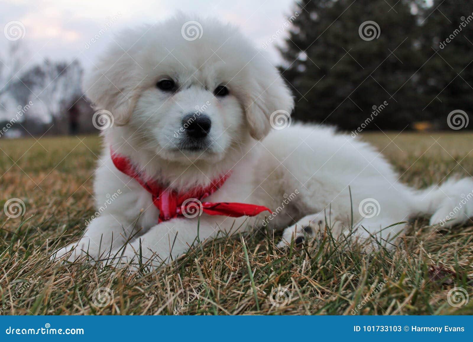 Cachorrinho adorável de grandes Pyrenees no Bandana vermelho