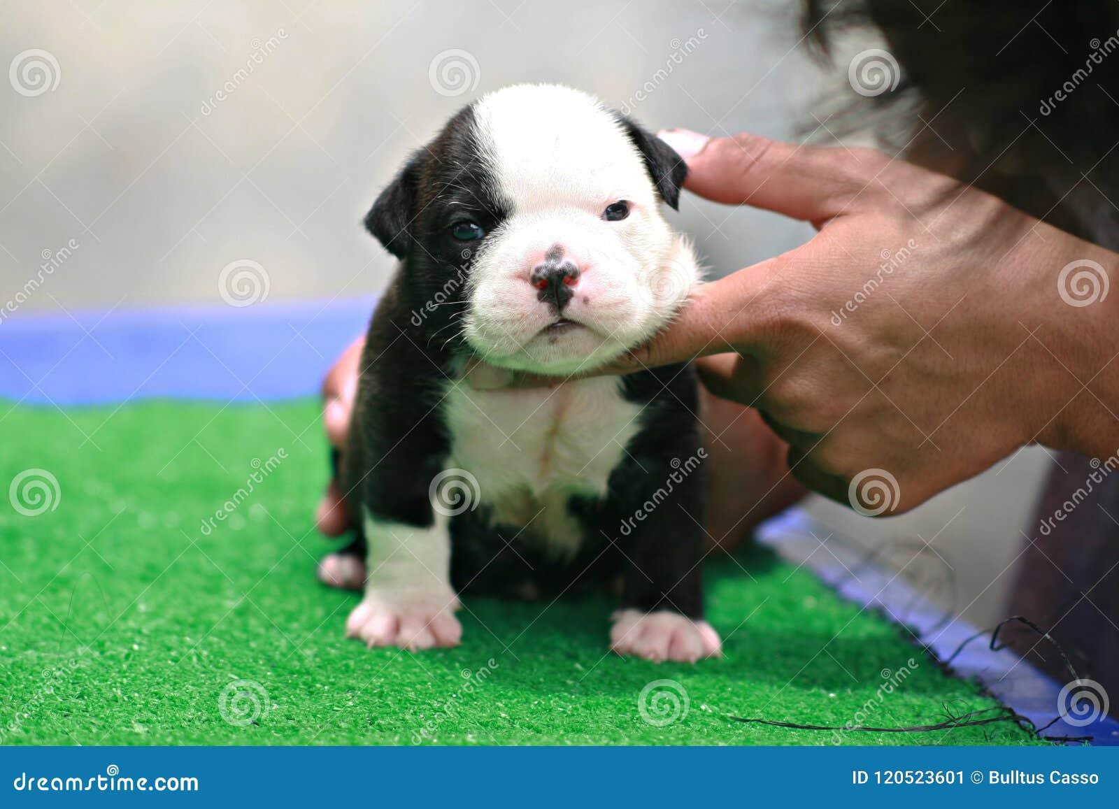 Cachorrinho Americano Preto E Branco Da Intimidação 1 Mês Que Está