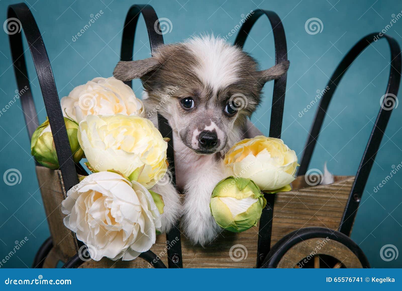 Cachorrinho bonito com crista chinês que senta-se em um carro com flores