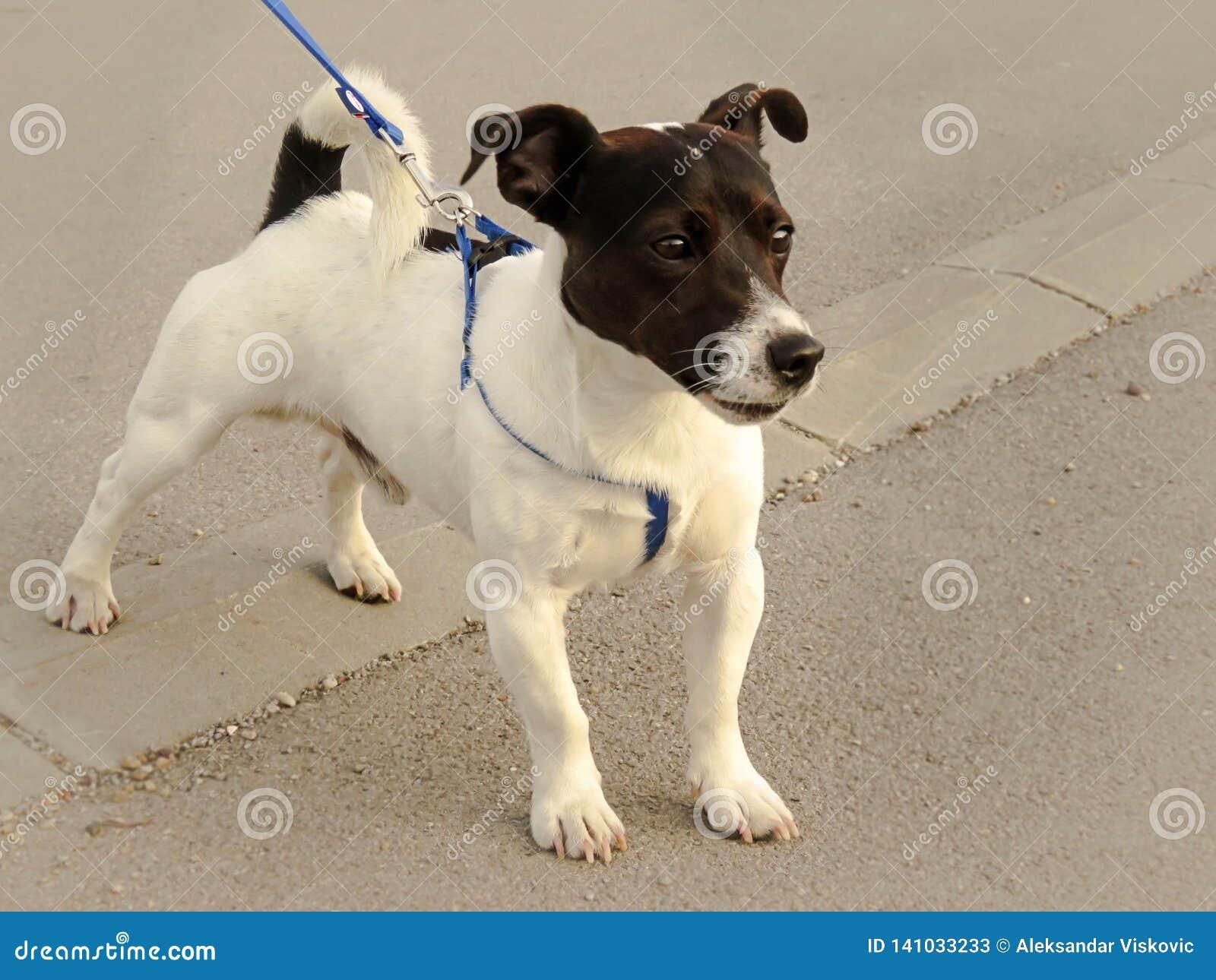 Cachorrinho bonito de Jack Russell que anda em uma trela