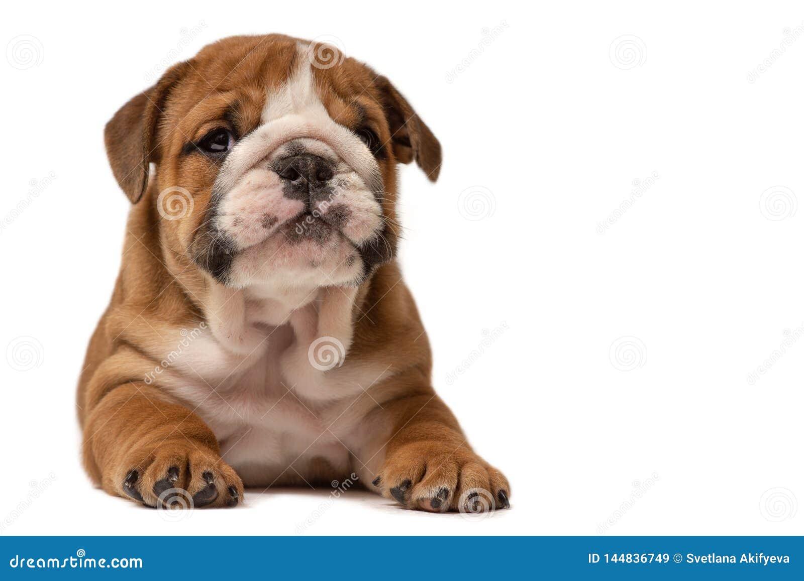 Cachorrinho bonito do buldogue ingl?s isolado no fundo branco