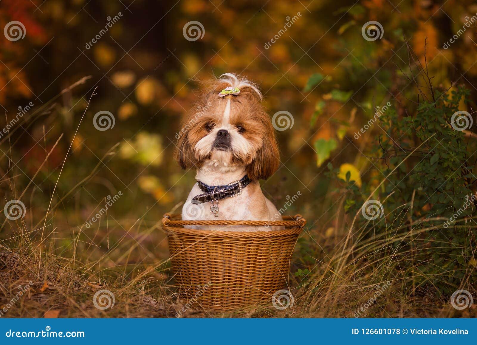 Cachorrinho bonito em uma cesta na floresta do outono