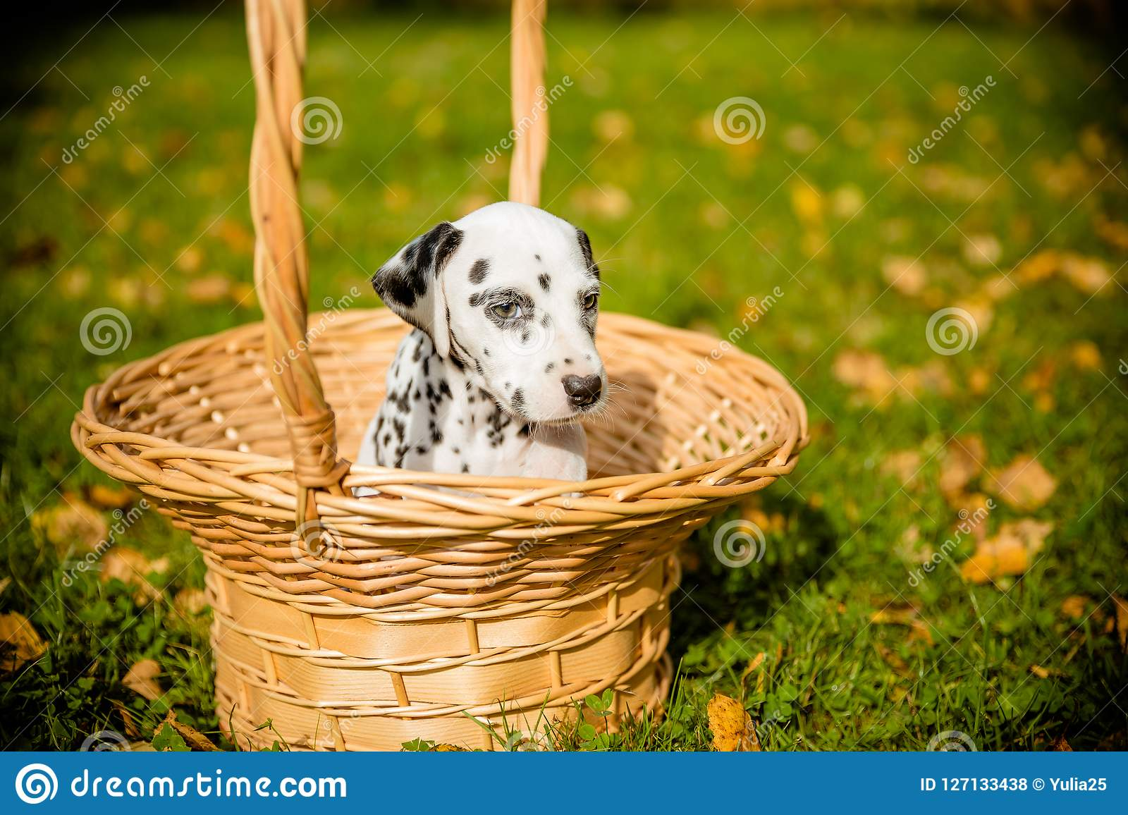 Cachorrinho Dalmatian que senta-se em uma cesta na frente do fundo outonal da natureza Cão pequeno bonito em uma cesta de vime em