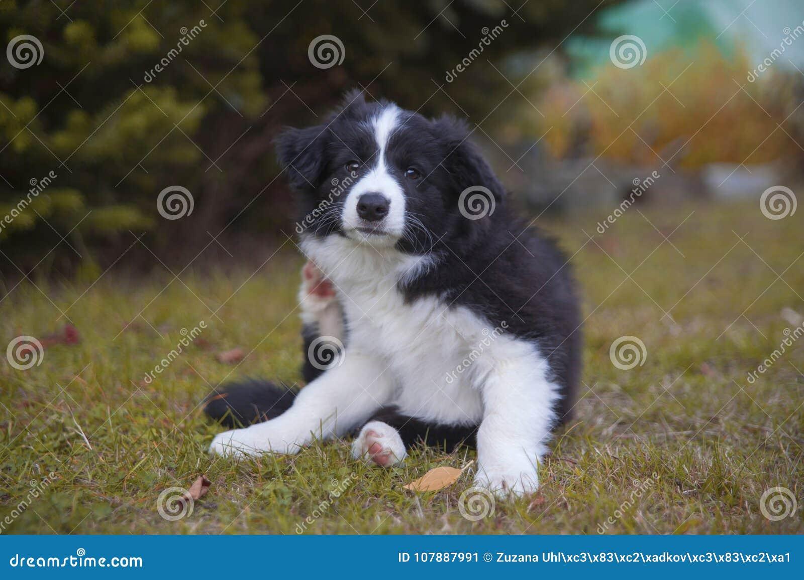 Cachorrinho de border collie