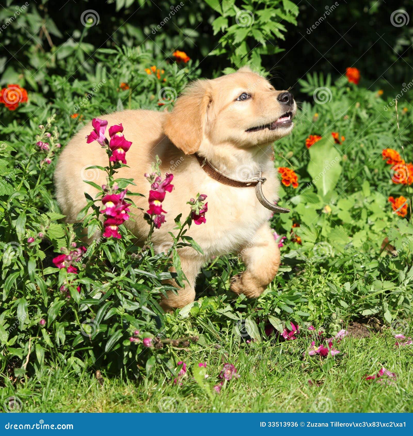 Cachorrinho de Hovawart que move-se no jardim