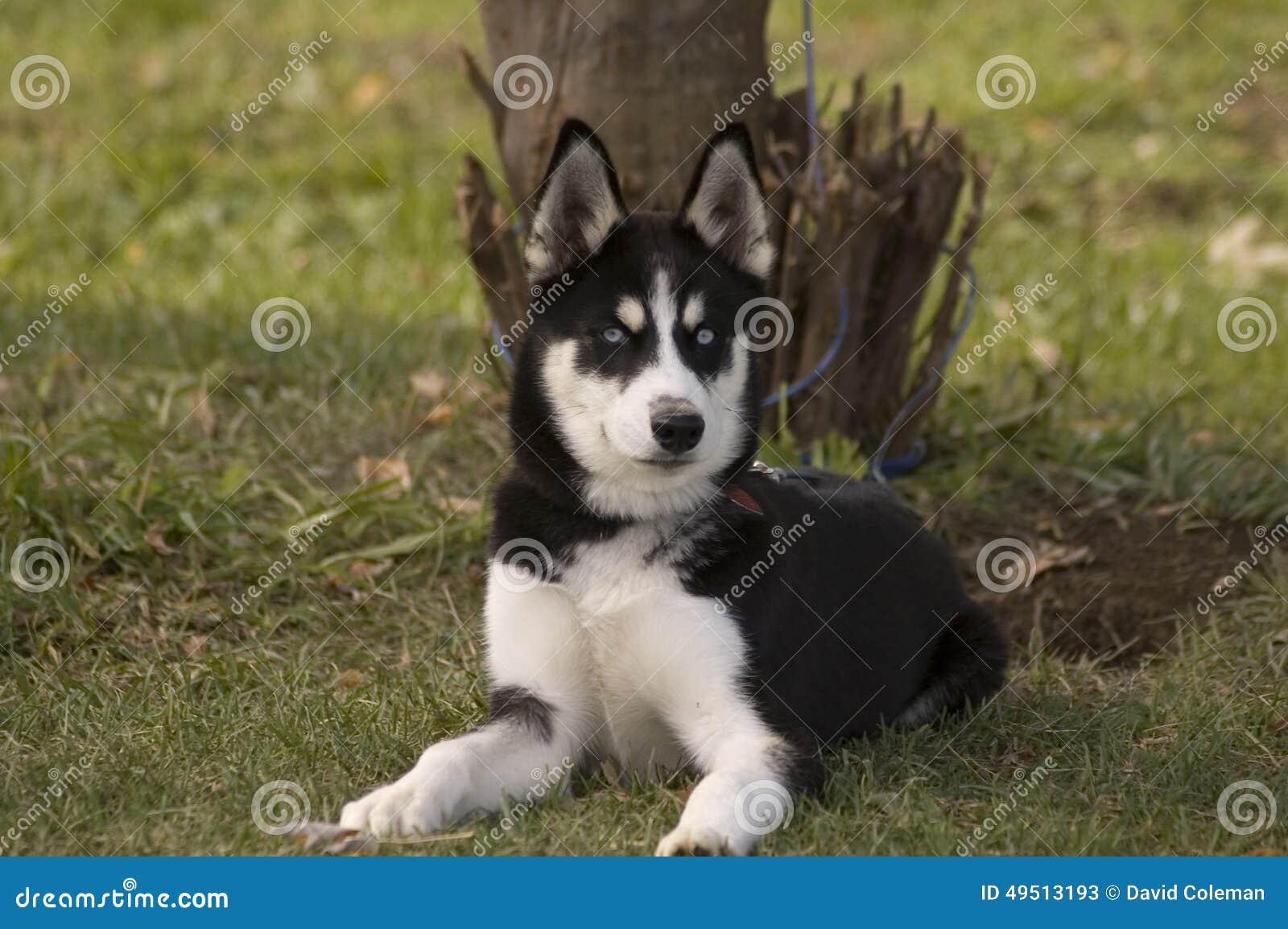 Cachorrinho de Huskie