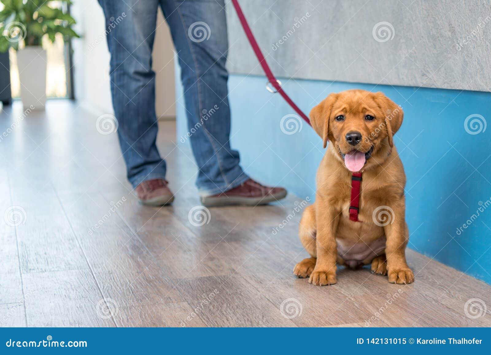 Cachorrinho de Labrador com seu proprietário em uma trela na recepção de uma prática veterinária moderna