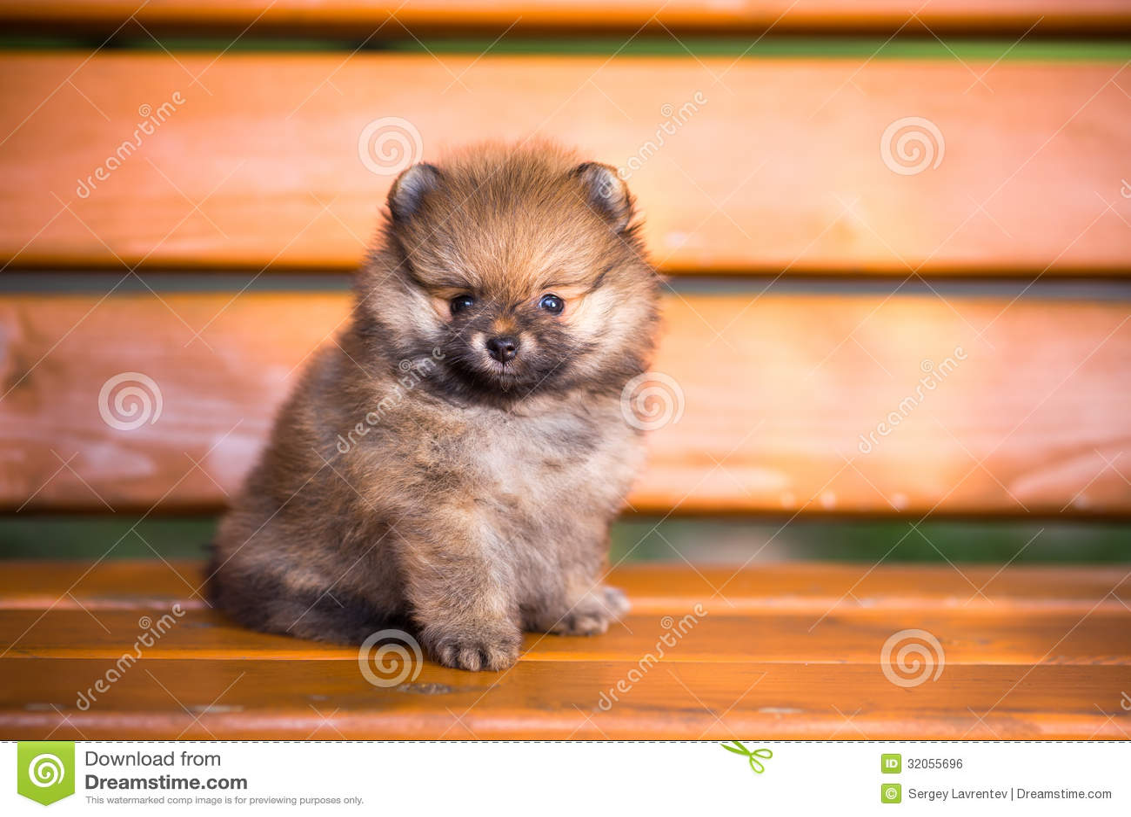 Cachorrinho de Pomeranian em um banco