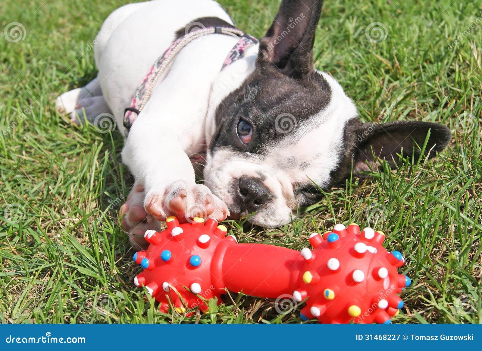 Cachorrinho do buldogue francês que joga o brinquedo do cão