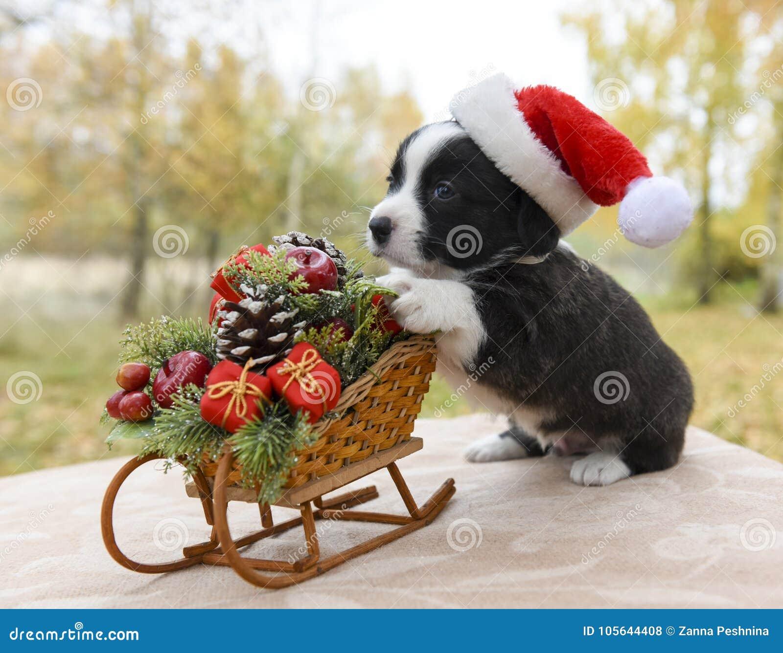 Cachorrinho do Corgi no chapéu de Santa