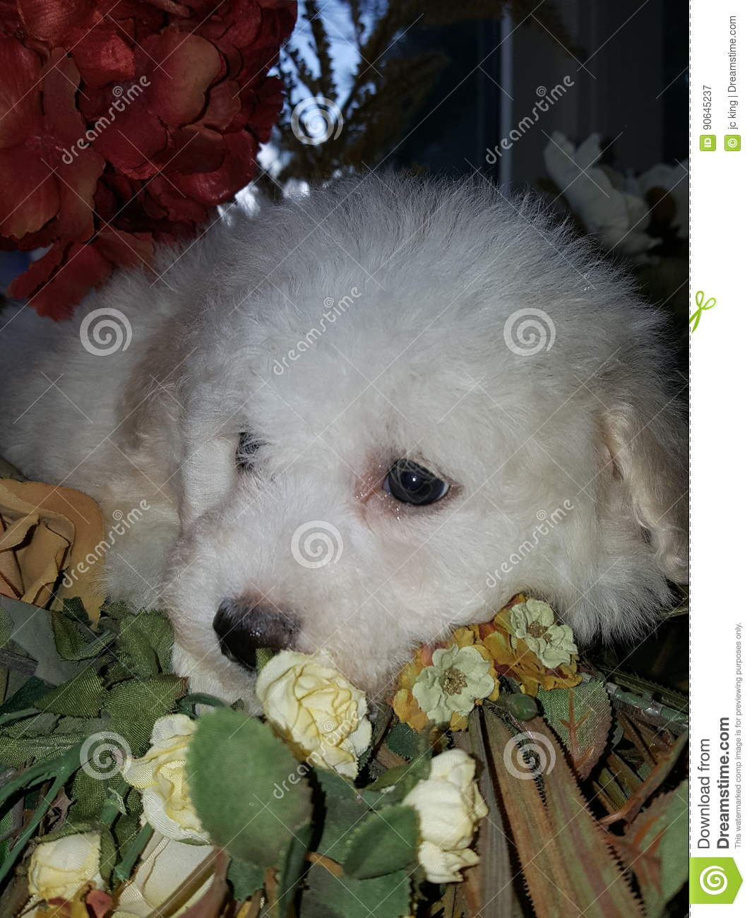 Cachorrinho do frise de Bichon