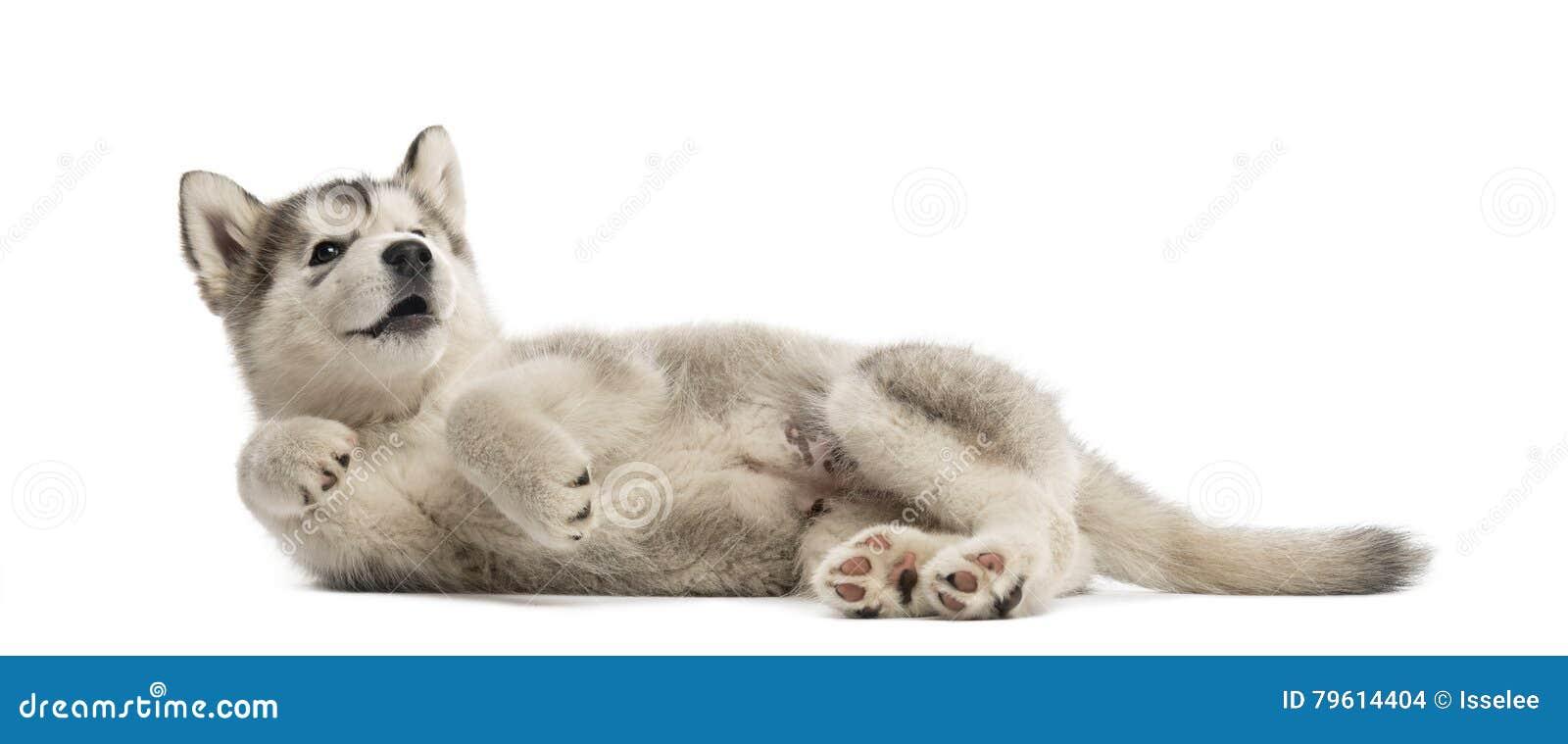 Cachorrinho do Malamute do Alasca que encontra-se no lado