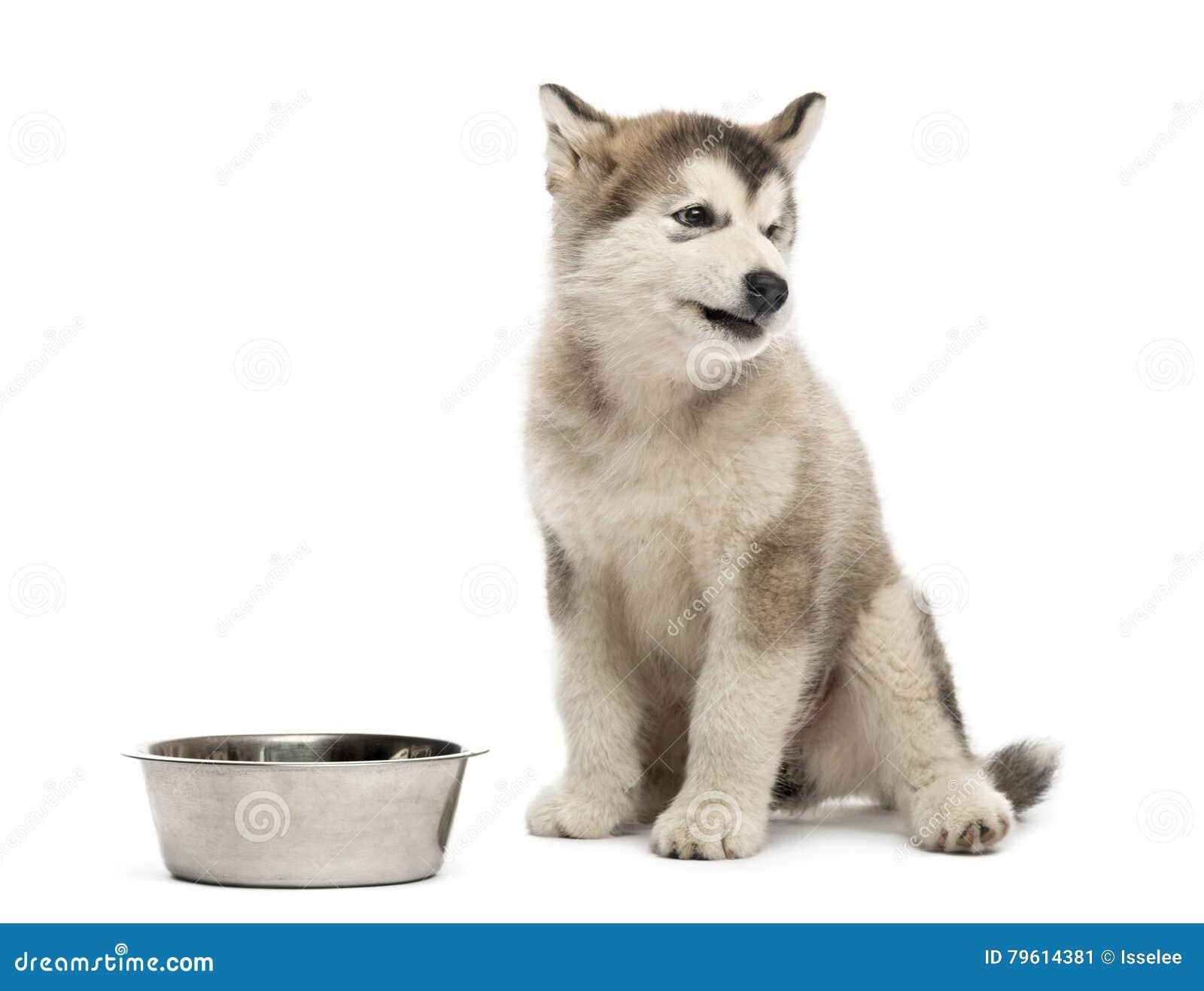 Cachorrinho do Malamute do Alasca que senta-se com uma bacia