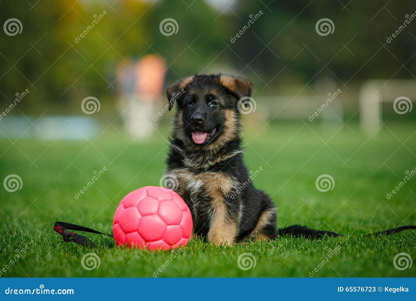 Cachorrinho do pastor alemão que senta-se na grama no parque